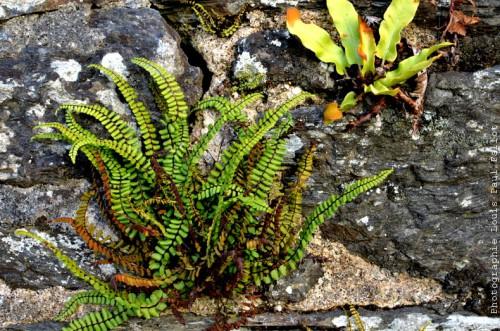 Mauvaises herbes sur un mur-PhotosLP Fallot.jpg